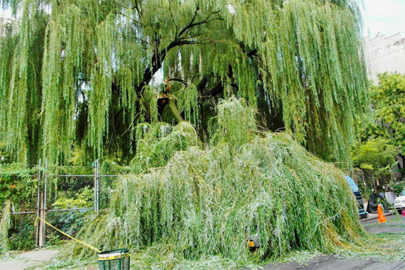 Willow Tree | Bad Trees | Tree Choices for the Yard