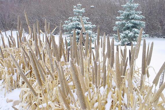 Mock Rush | Winter Garden Plants