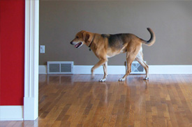 dog walks across wooden floor