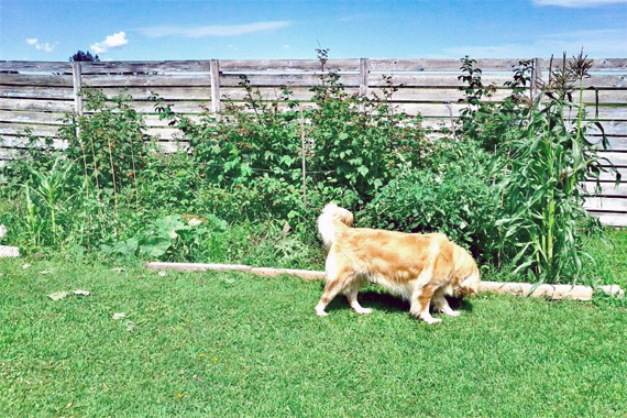 Superieur Stop Dog Digging Vegetable Garden,how Do I Train My Dog To Fetch The Paper, How To Stop Play Nipping In Dogs,pitbull Facts Dog   Tips For You