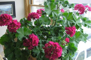 Fragrant geranium inside a home