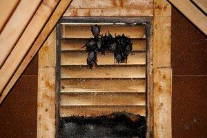 Bats in a home's attic