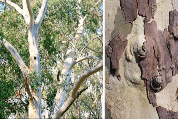 Planting Under Eucalyptus Trees : Bad trees tree choices for the yard planting tips