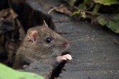 Community Rat Removal