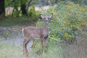 home deer repellents