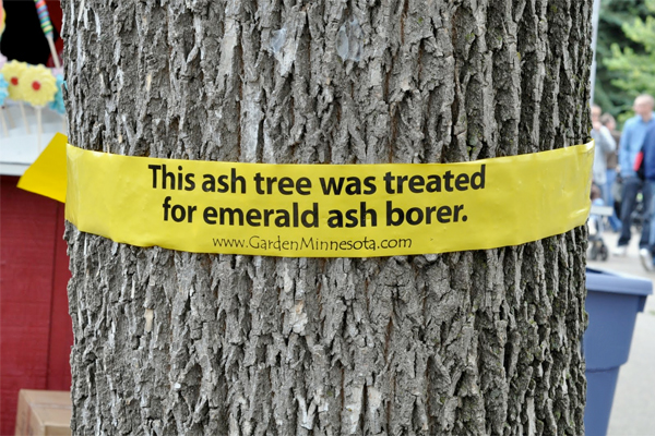 A tree that has been treated for emerald ash borer