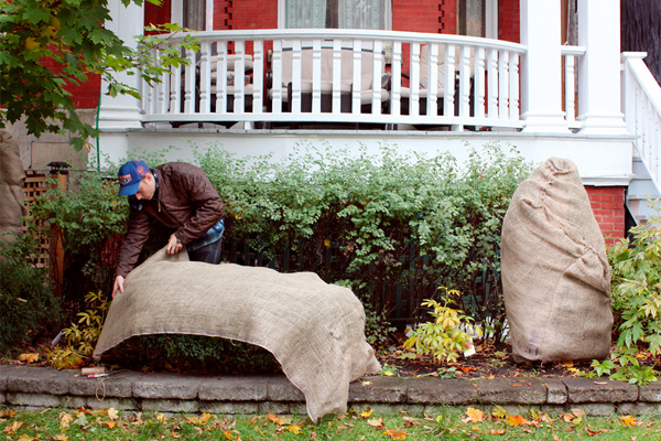 Wrapping outdoor plants to prepare for winter