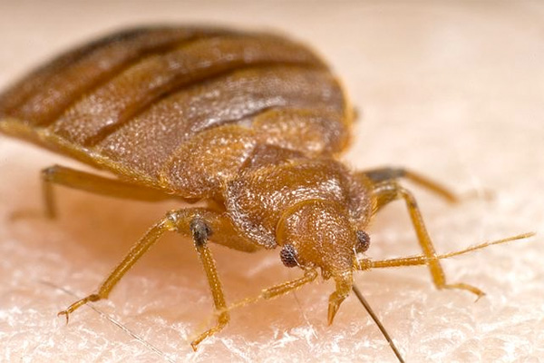 A close-up view of a bedbug