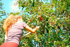 Picking apples from home fruit tree