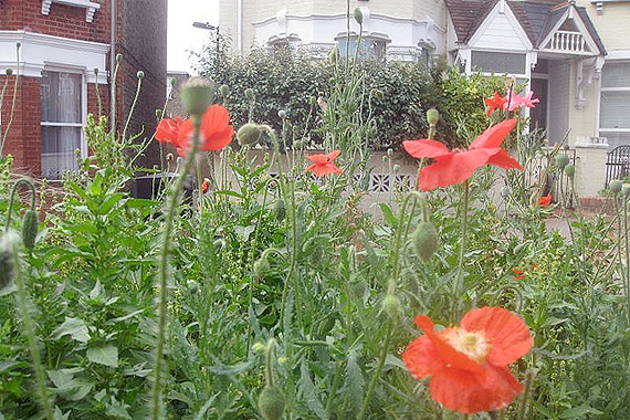 Poppies growing in a previously-abandoned public planter