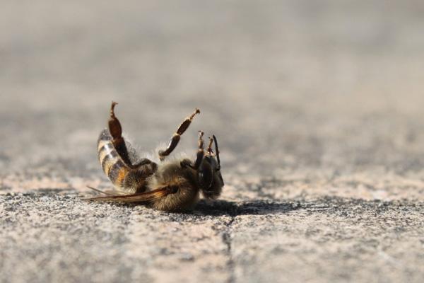 Dead honey bee upside down on a sidewalk