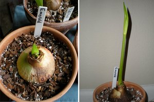 An amaryllis bulb and early growth
