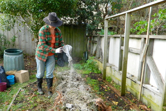 Spreading wood ash fertilizer in a home garden