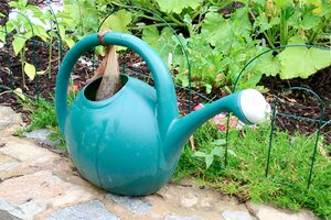 Manure tea in a watering can