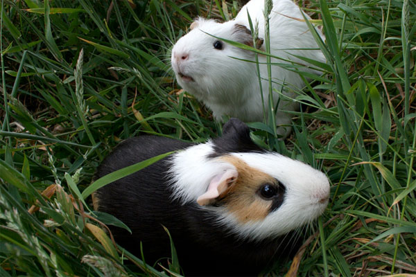 How many guinea pigs would it take to mow your lawn
