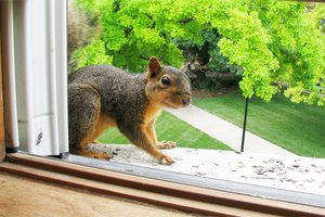 Squirrel at a home's window | Squirrel removal tips