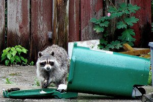 A raccoon getting into a homeowner's trash can