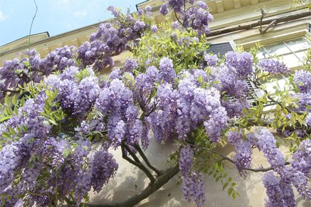 Chinese Wisteria | Invasive Plants | Invasive Bamboo Species