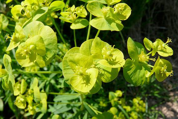 Leafy Spurge | Invasive Plants | Invasive Bamboo Species