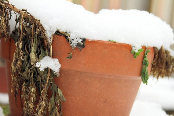 Dead plants in a terra cotta pot covered with snow