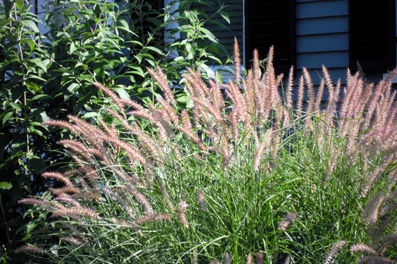 Pink Muhly Grass | Ornamental Grass Landscaping