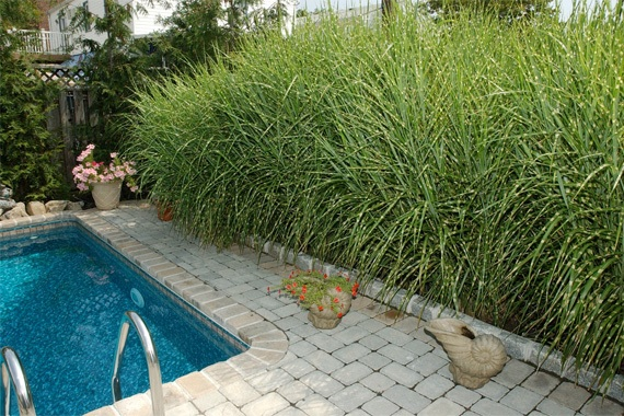 Tall fast growing privacy grass foto bugil bokep 2017 for Ornamental grass in containers for privacy