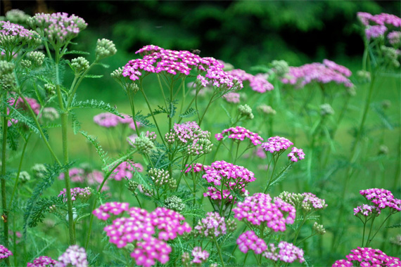 perennial,flowers,yarrow
