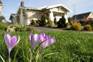 Crocus planted in fall providing spring color