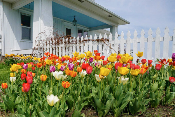 Tulips in the front yard of a home
