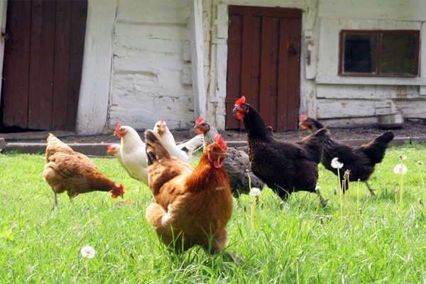 Chickens who don't live in the White House