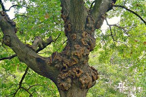 A sick tree in Austin, Texas