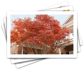 Fall Stunners: Trees with Colorful Curb Appeal