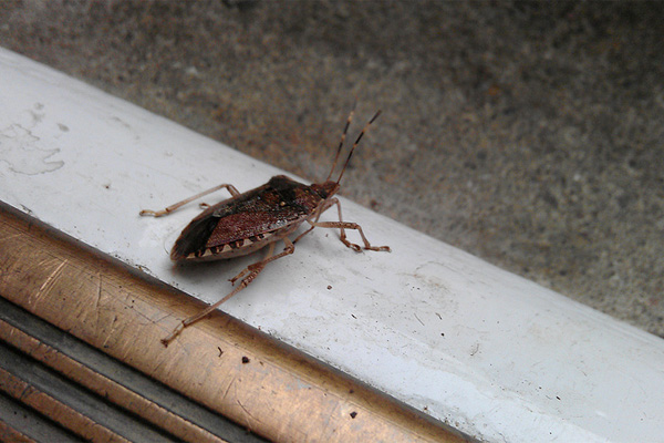 A brown marmolated stinkbug in Ohio