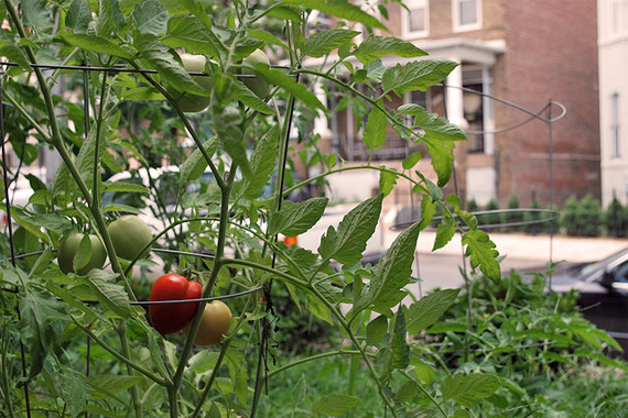 Tomato plants in front yard of city home