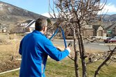 Pruning a Bartlett pear tree in the early spring