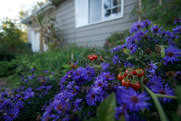 Tomato and aster together in a garden