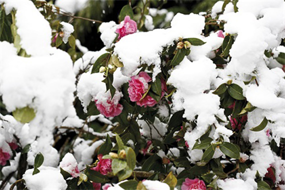 Camellia Japonica | Winter Garden Plants